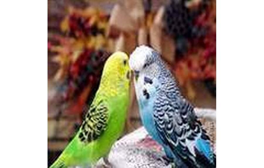 Домашние попугаи