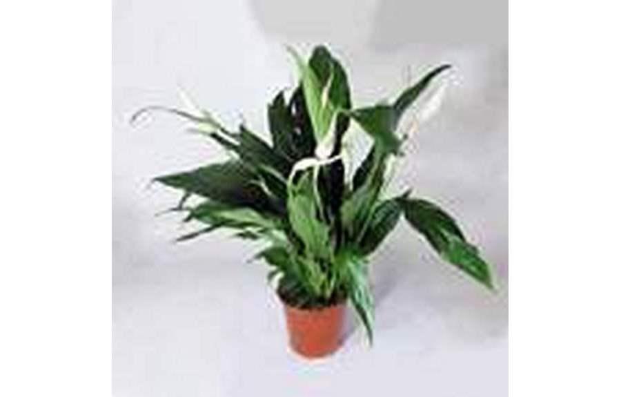 Домашний цветок спатифиллум