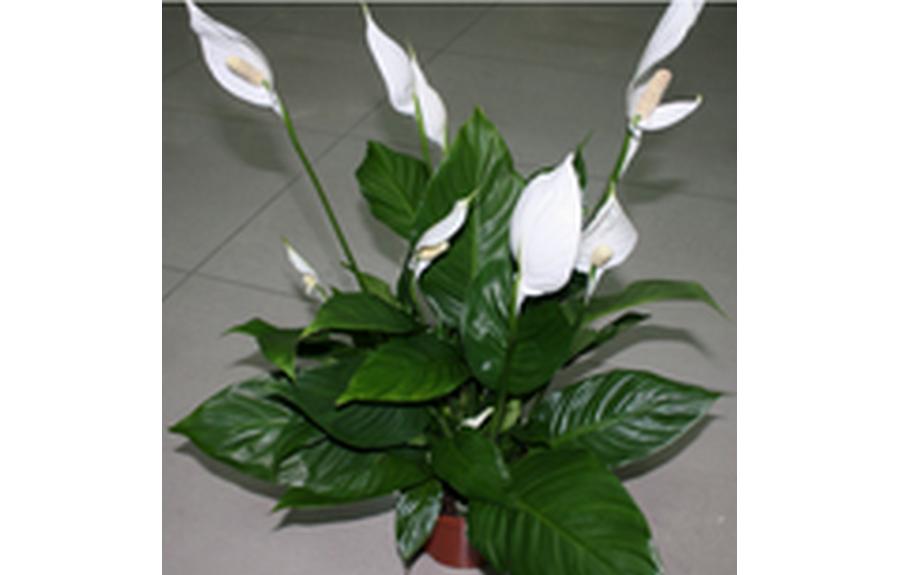 Комнатный цветок женское счастье уход