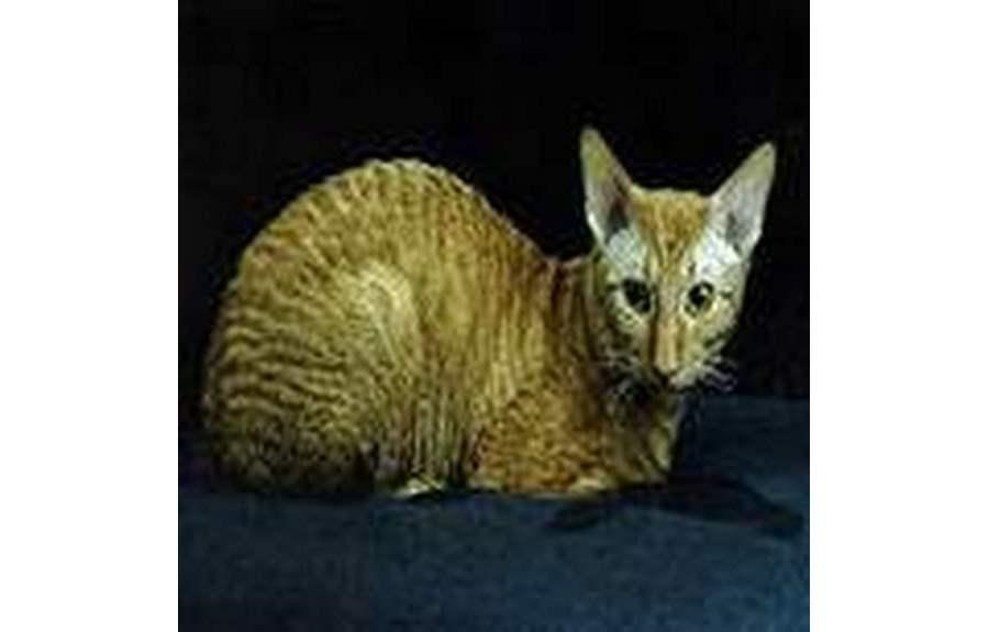 Кошки породы Рекс