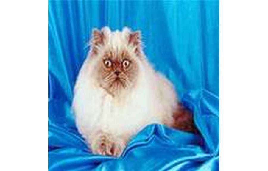 Кошки породы колор-пойнт