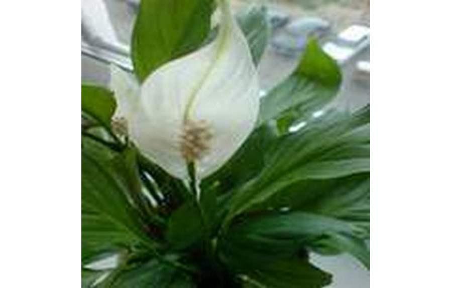 Цветок женское счастье википедия