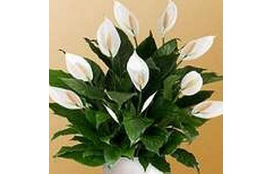 Какой цветок называют женским счастьем