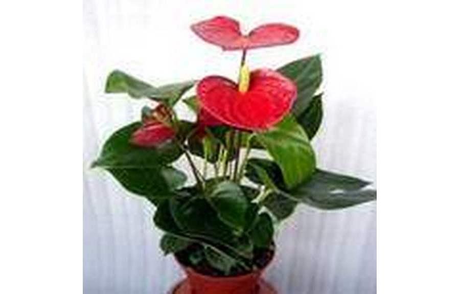 Цветок женское счастье красный
