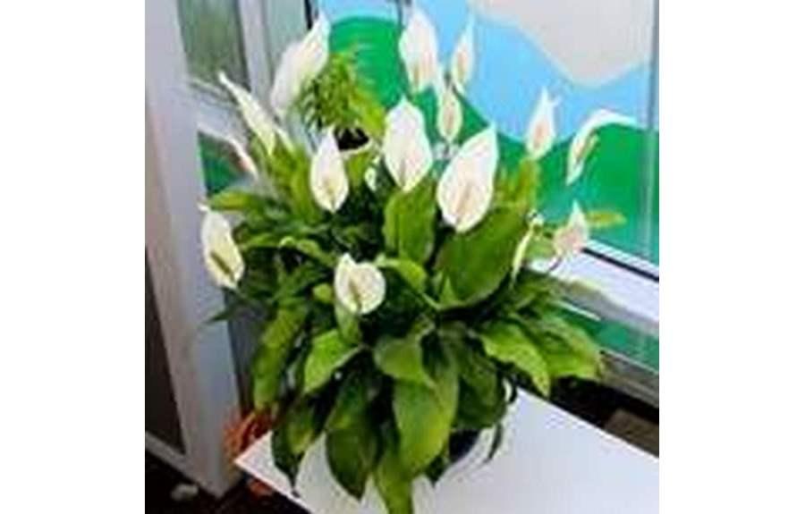 Цветок женское счастье, уход в домашних условиях