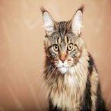 Кошка мейнкун