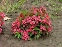 Вейгела - роскошный кустарник для Вашего сада