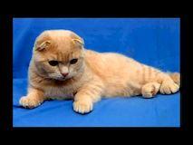 Правильный уход за британской вислоухой кошкой