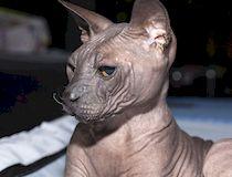 Сфинкс кошка: уход и кормление
