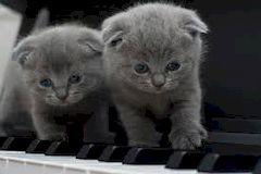 Шотландские вислоухие кошки: уход и содержание