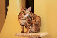 Бенгальская кошка: уход и содержание