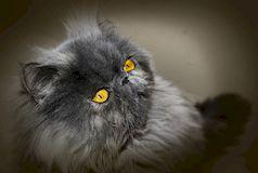 персидские кошки содержание