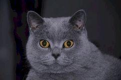 Уход за британским котом