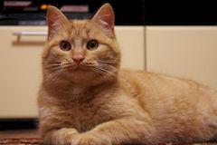 Лишай у кошек, лечение